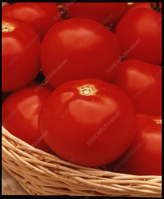 Tomatoes, Lycopersicon esculentum, in a basket