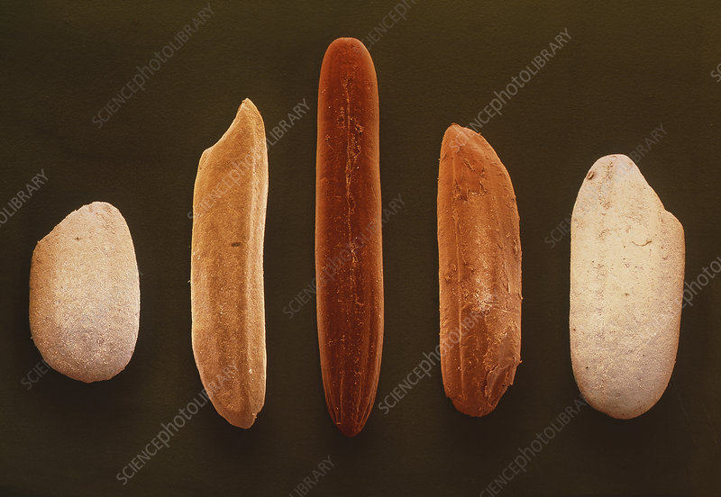 Coloured SEM of 5 different types of rice grain
