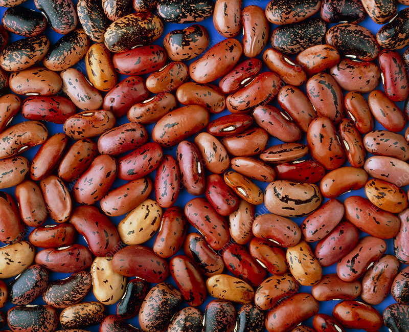 Dried red beans, Phaseolus sp.