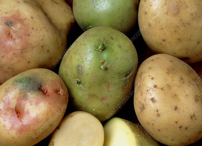 Potatoes that have turned green and poisonous