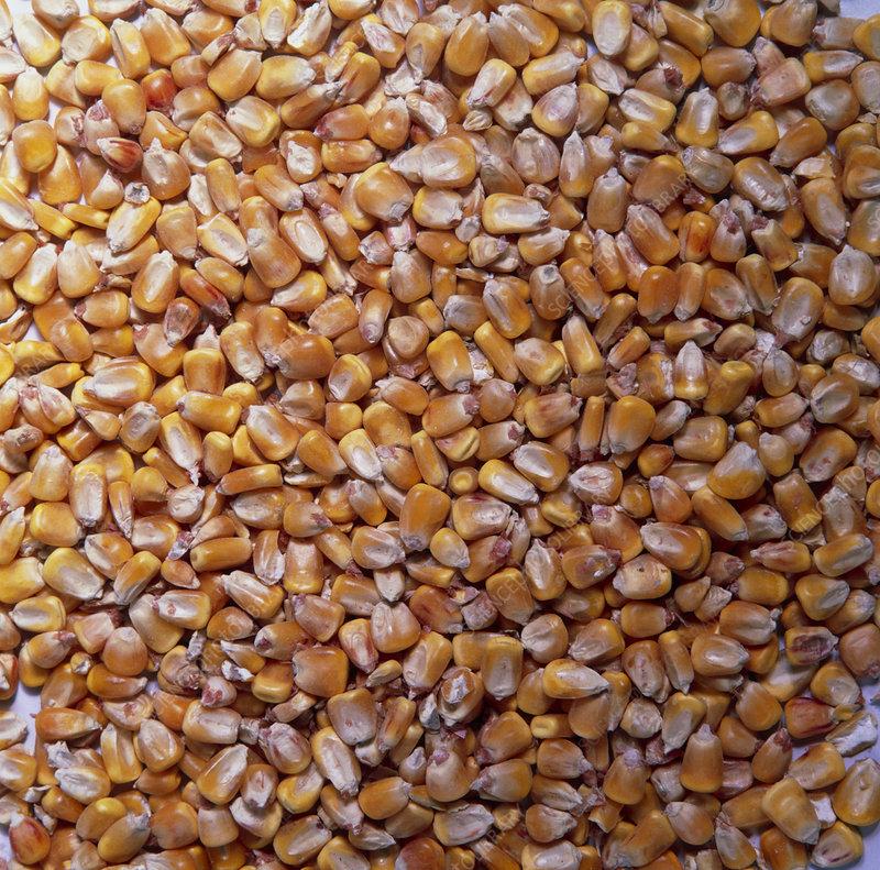 Individual maize (Zea Mays) grains, or kernels