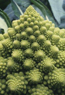 Spiralled florets of Romanesco broccoli