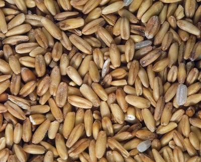 View of oat (Avena sp.) grains