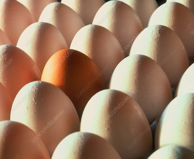 View of rows of chicken eggs