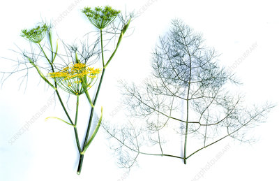 Flowers and leaves of fennel (Foeniculum vulgare)