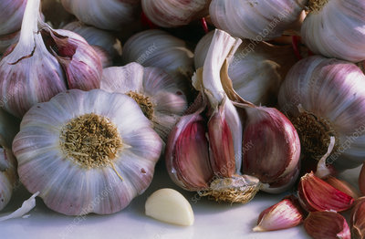 View of cloves and bulbs of garlic, Allium sativum