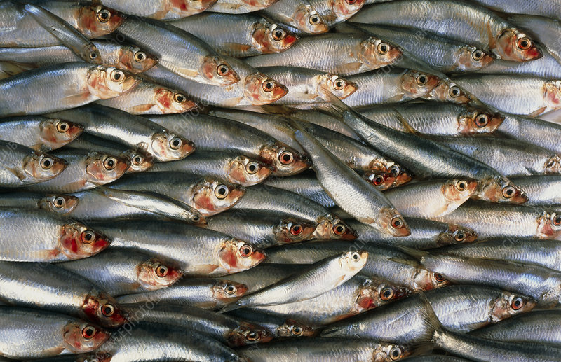 View of several sprats (Sprattus sprattus)