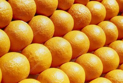 View of several oranges (Citrus sinensis)