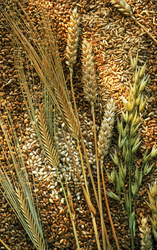 Cereals and grain
