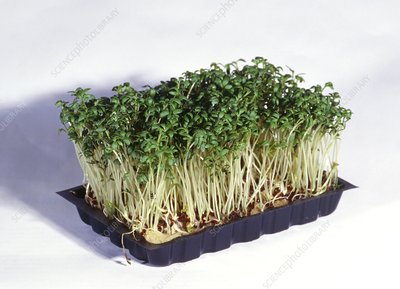 Common Cress
