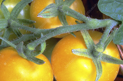 Yellow tomatoes on vine
