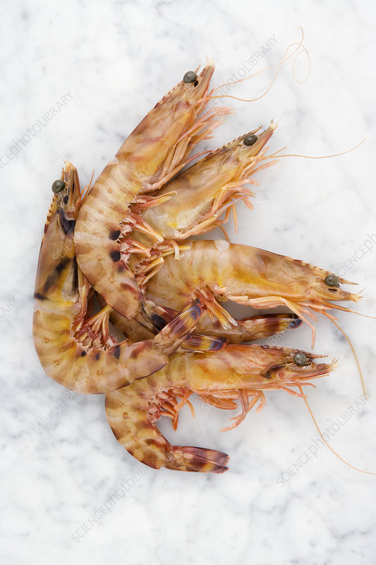 Fresh tiger prawns - Stock Image H110/4187 - Science Photo ...