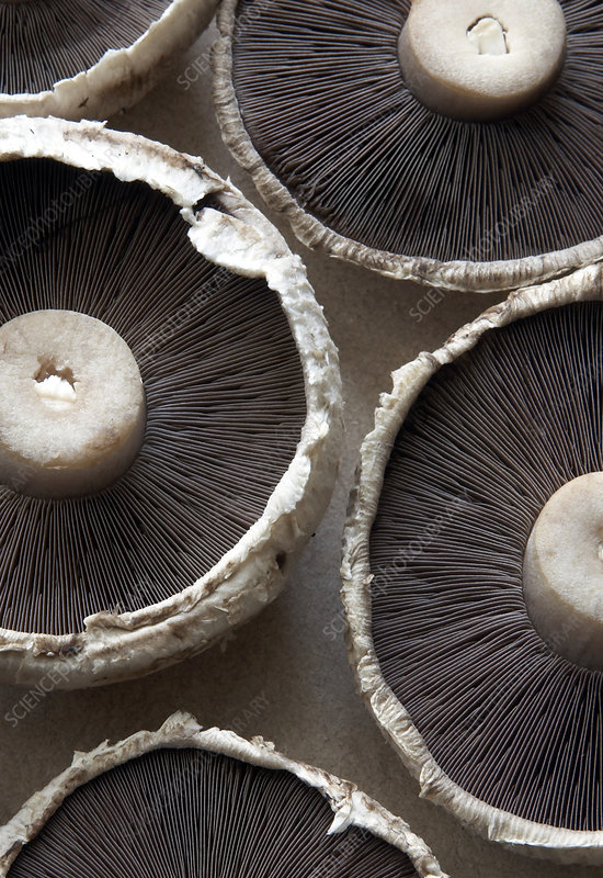 Field mushrooms