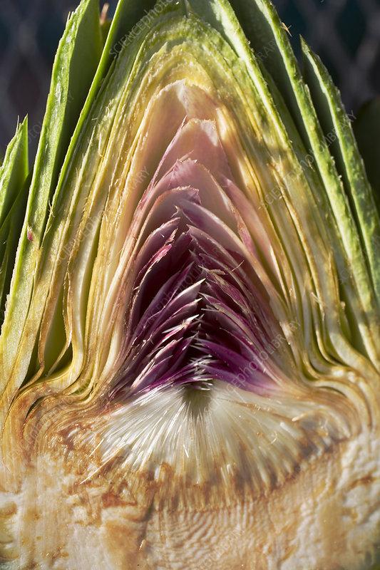 Cross section of an artichoke