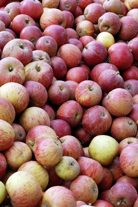 Apples (Malus 'Queen Cox')