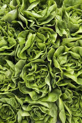 Round lettuces