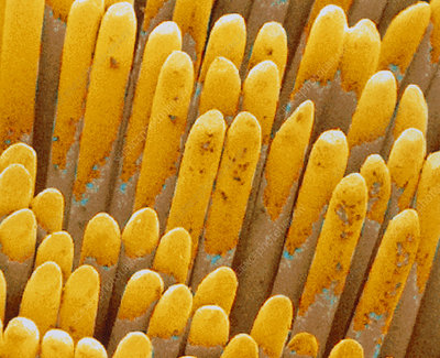 Col. SEM of filaments of a tooth brush