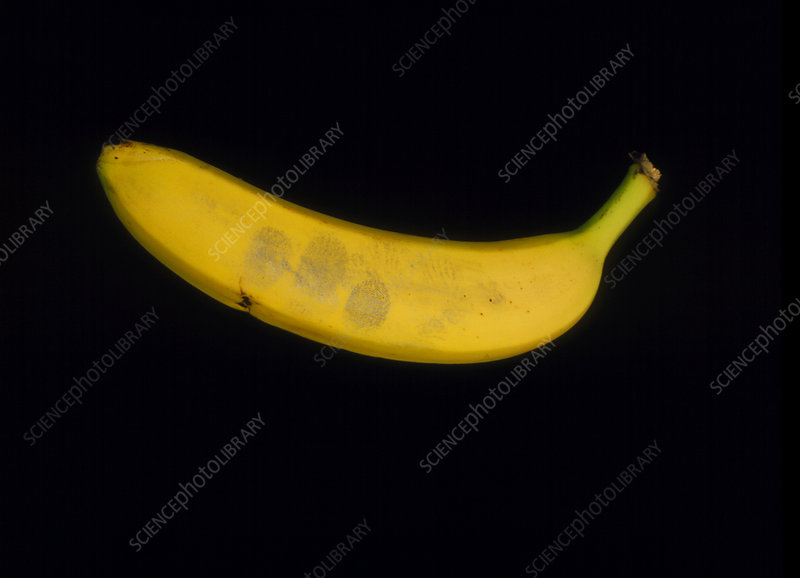 Fingerprints on banana revealed by magnetic powder
