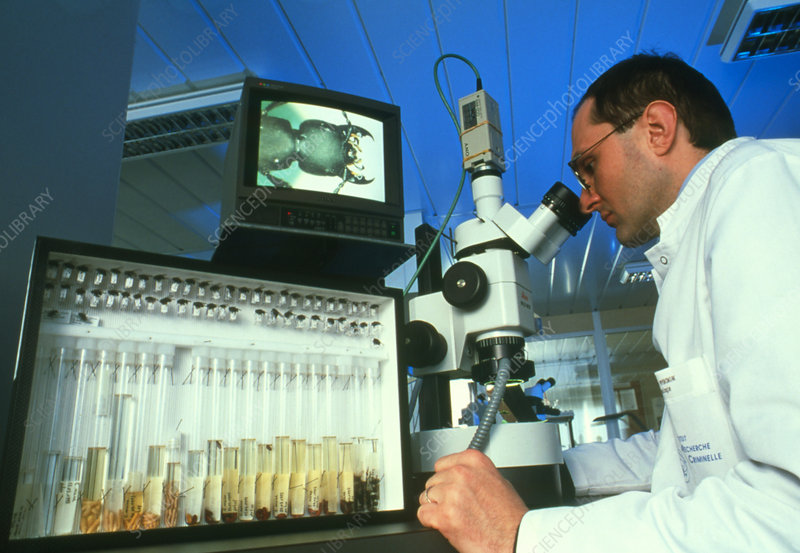 Forensic scientist views beetle through microscope