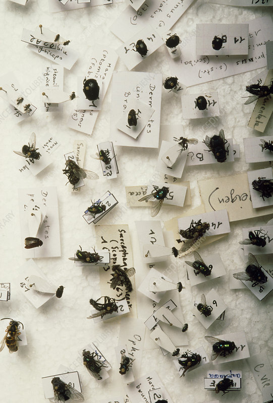 Group of flies for forensic identification