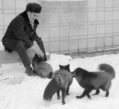 Belyaev with his selectively bred foxes