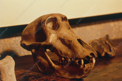 The skull of an ape at Darwin's house