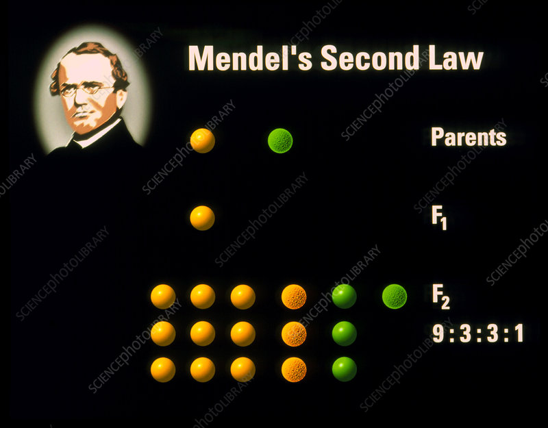 Computer artwork of Mendel's Second Law