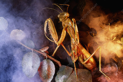 Model praying mantis
