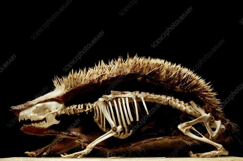 http://www.sciencephoto.com/image/230419/530wm/H4650294-Dissected_hedgehog-SPL.jpg