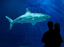 Great White shark, Monterey Bay Aquarium