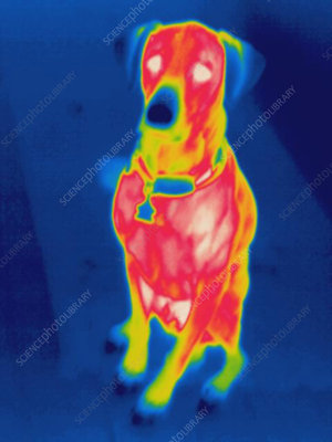 Thermogram of a dog
