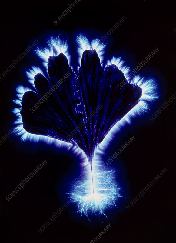 Kirlian photograph of a Gingko leaf