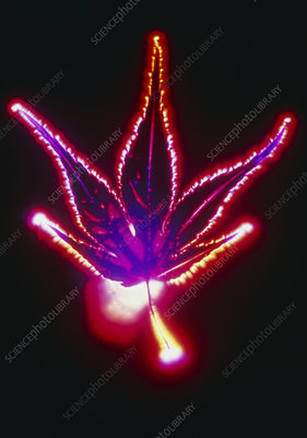 Kirlian photo of Japanese maple leaf