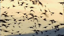 Huge flock of starlings