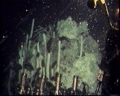 Giant tube worms on a hydrothermal vent