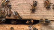 Honey bees in a box