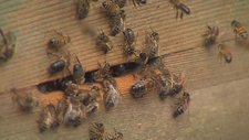 Honey bees at their beehive