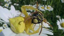 Crab spider eats wasp