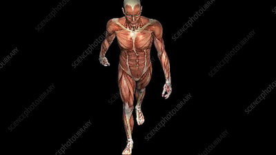 Muscular structure male walking
