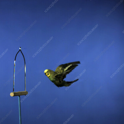 Budgie flying