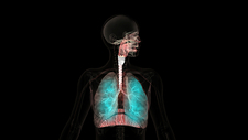 Human respiratory system, animation