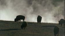 Bison near a hot spring