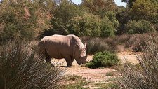 Rhino walking in the wild