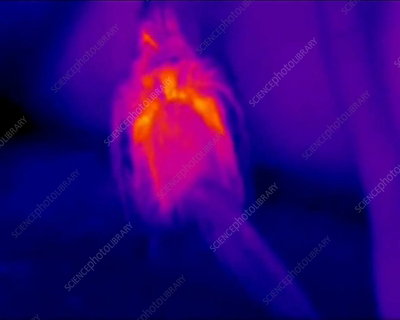 Bird in sunlight, thermography