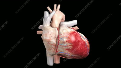 The internal structures of the heart