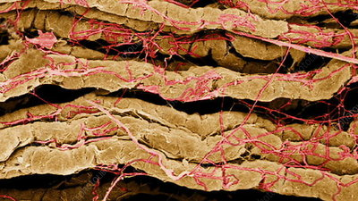 Coloured SEM of nerve fibres