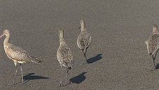 Marbled godwits, California