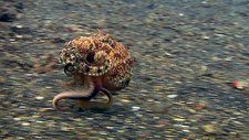 Veined octopus running