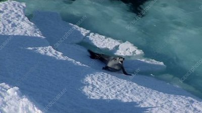 Crabeater seal breaking iceberg