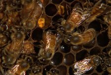 Honeybee waggle dance